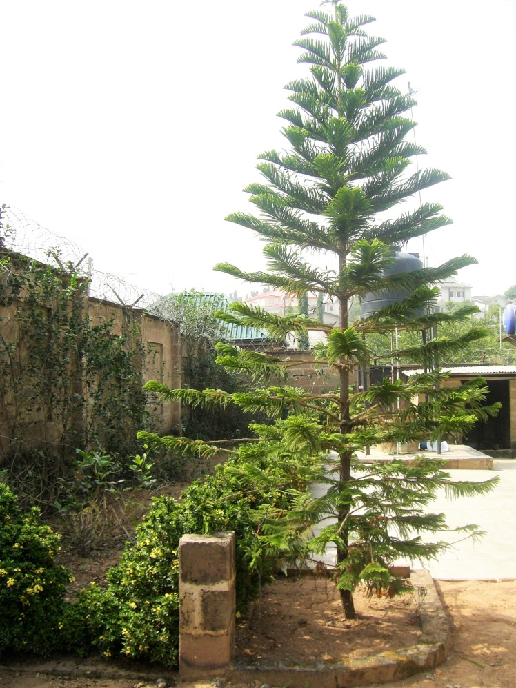 A natural festive tree that I spotted in a family friend's back garden (Ibadhon, Nigeria)